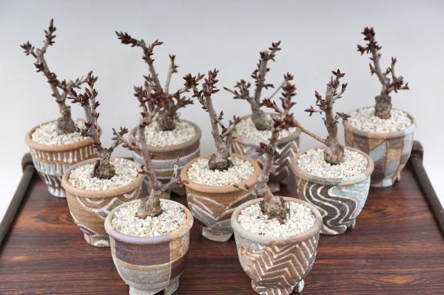 旭山桜 オリジナル鉢 花物実物 盆栽