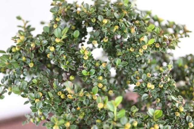 紅したん 花物実物 盆栽