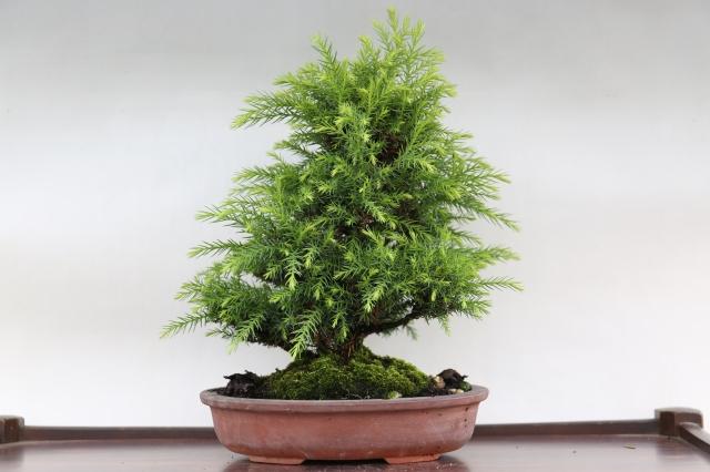 八房杉 松柏 盆栽