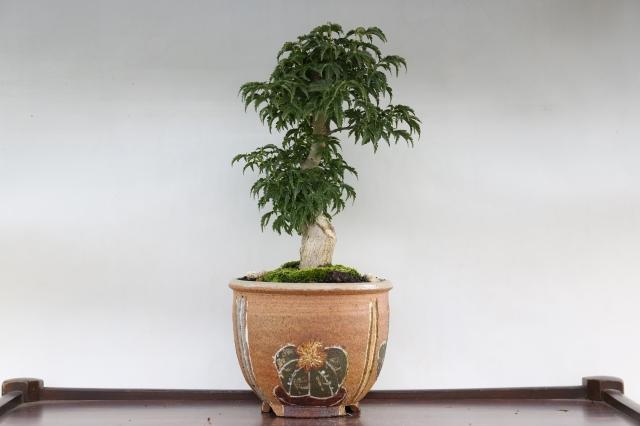 獅子頭もみじ 葉物 盆栽