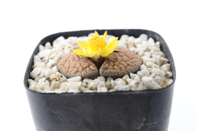 微紋玉 リトープス