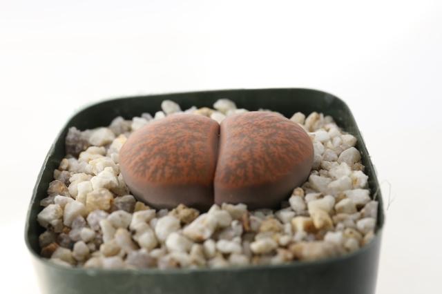 紫褐紫勲玉 リトープス