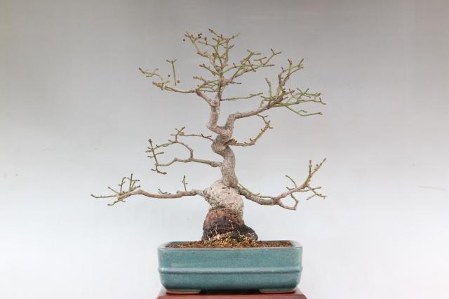 [コマユミ 花物実物 盆栽