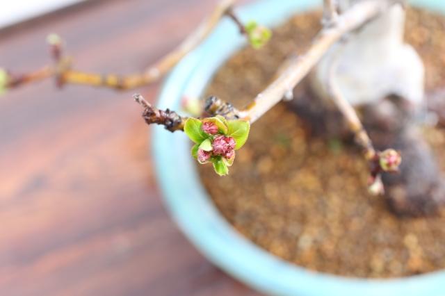 [ぼけ 花物実物 盆栽
