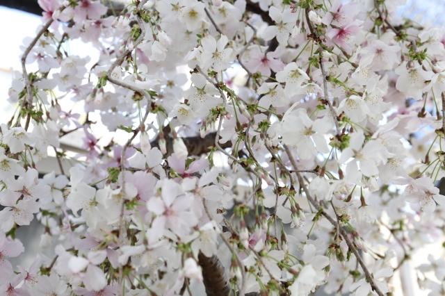 [しだれ桜 花物実物 盆栽