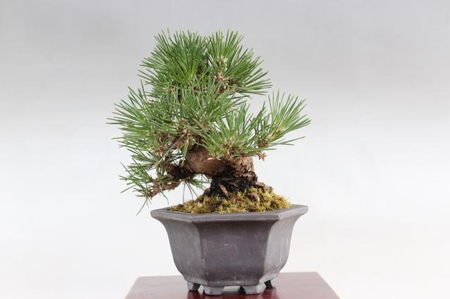 [三河黒松 松柏類 盆栽