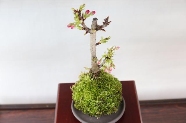 旭山桜苔玉 花物実物 盆栽