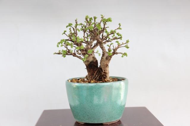 [にれけやき 葉物 盆栽
