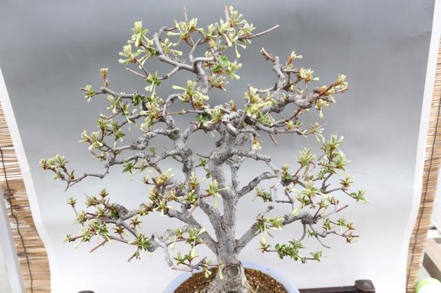 秋ぐみ 花物実物 盆栽