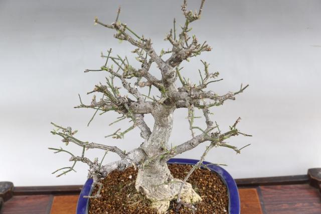 こまゆみ 花物実物 盆栽