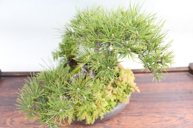 黒松 山野草寄せ 松柏類 盆栽