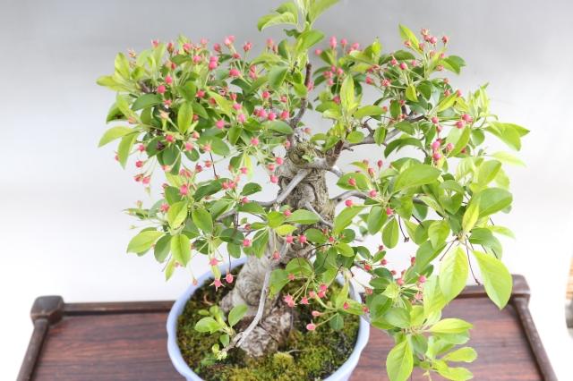 姫美好 花物実物 盆栽