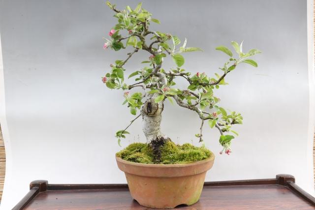 紅乙女りんご 花物実物 盆栽