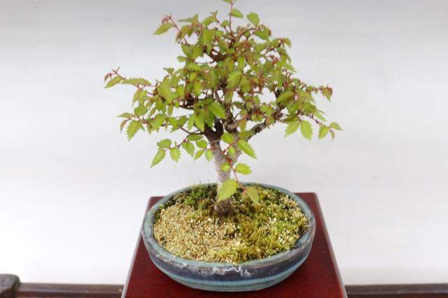 けやき 葉物 盆栽