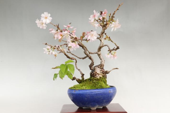 十月桜 正面