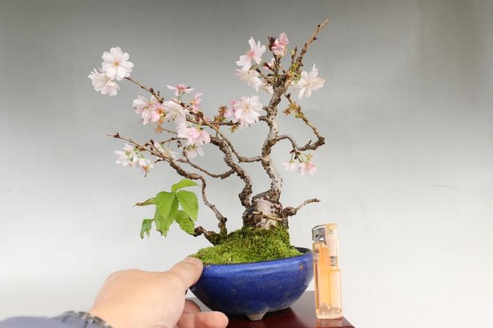 十月桜 比較