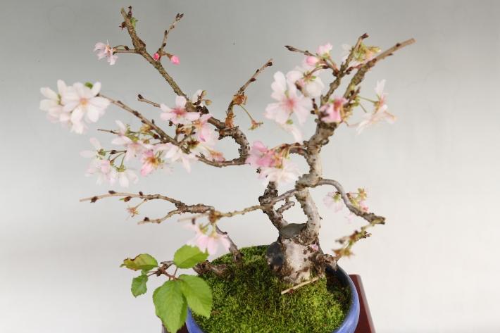十月桜 斜め45度