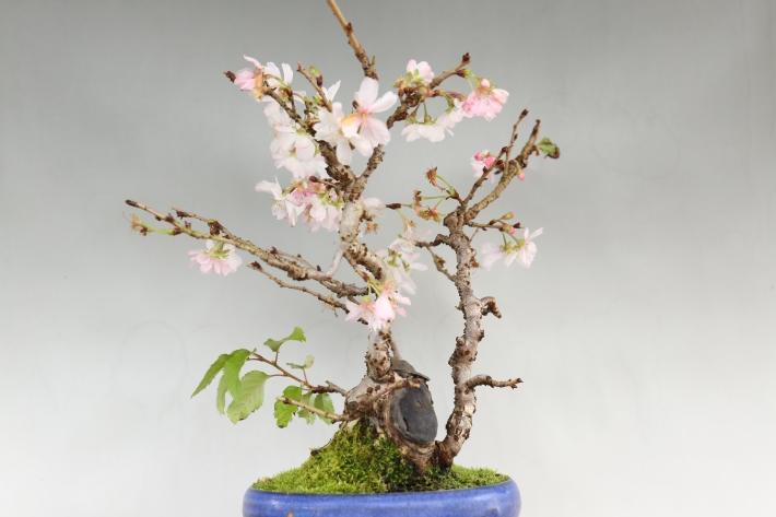 十月桜 横
