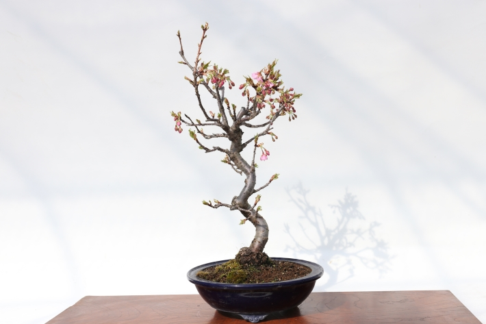 河津桜 正面