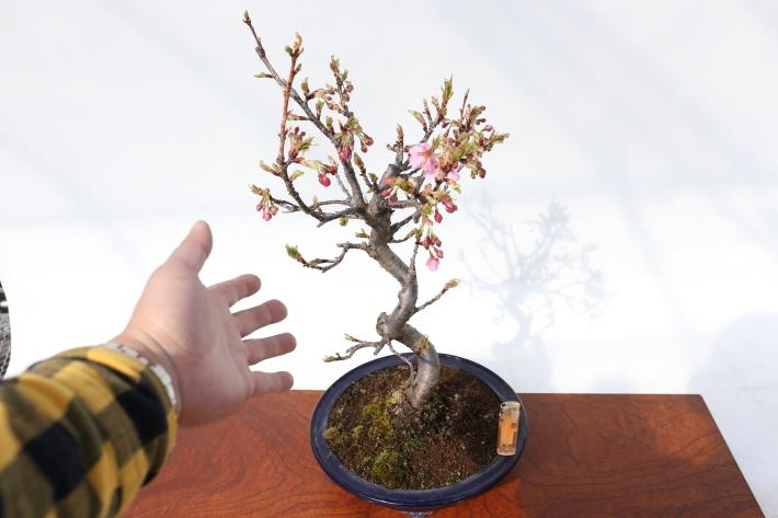 河津桜 比較