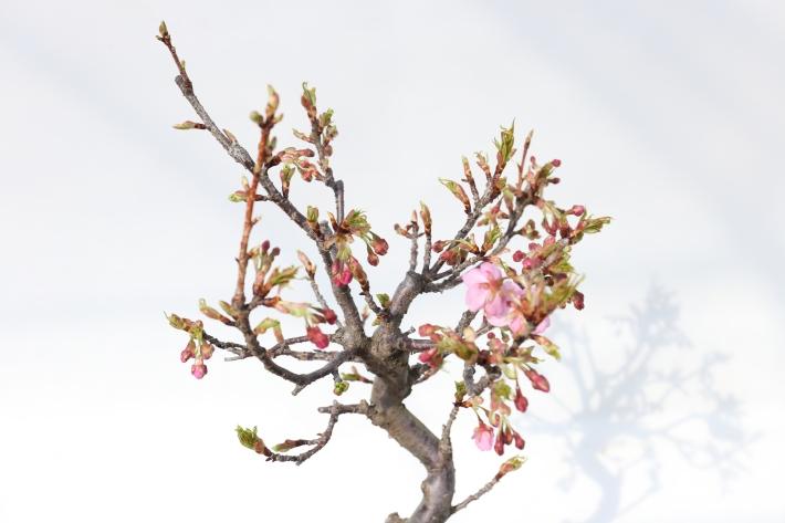 河津桜 斜め45度