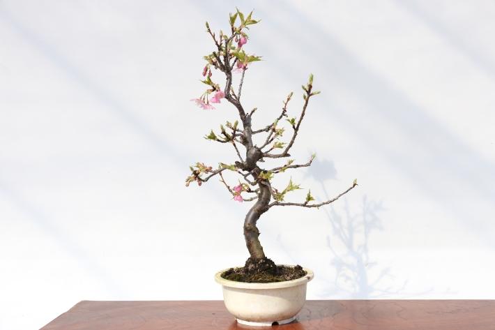 河津桜 横