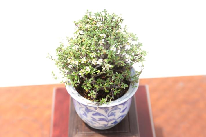 極姫白紫檀 斜め45度