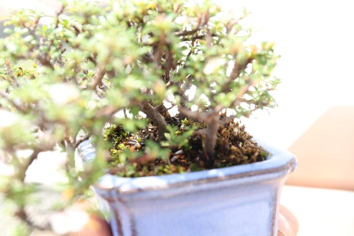 盆栽 根張り
