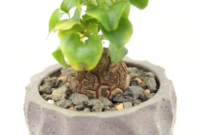 アフリカ亀甲竜