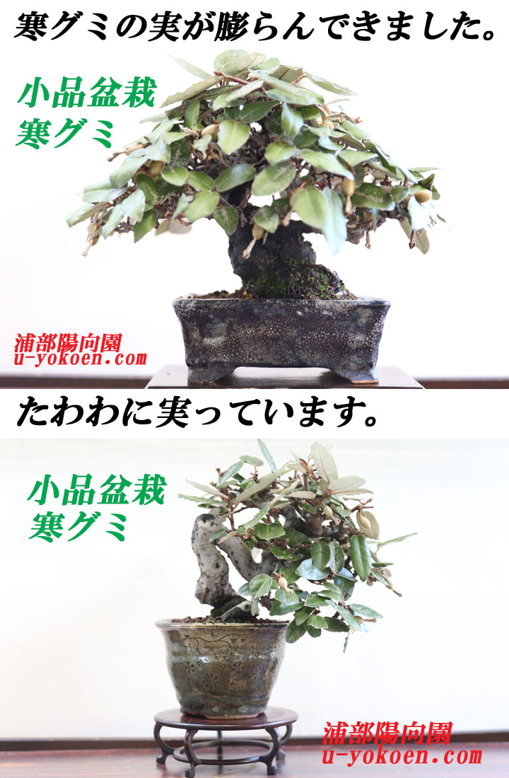寒グミ 盆栽