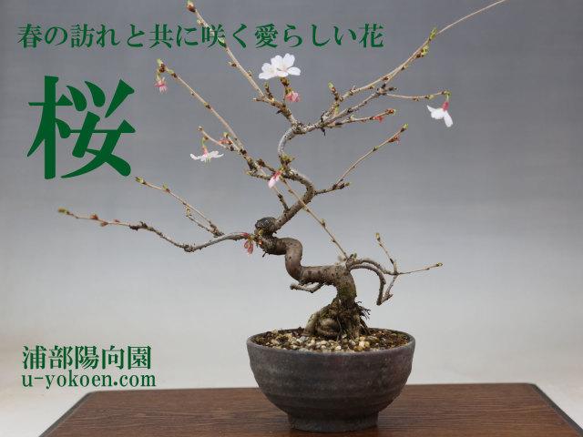 桜-1バナー