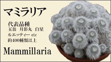 マミラリア