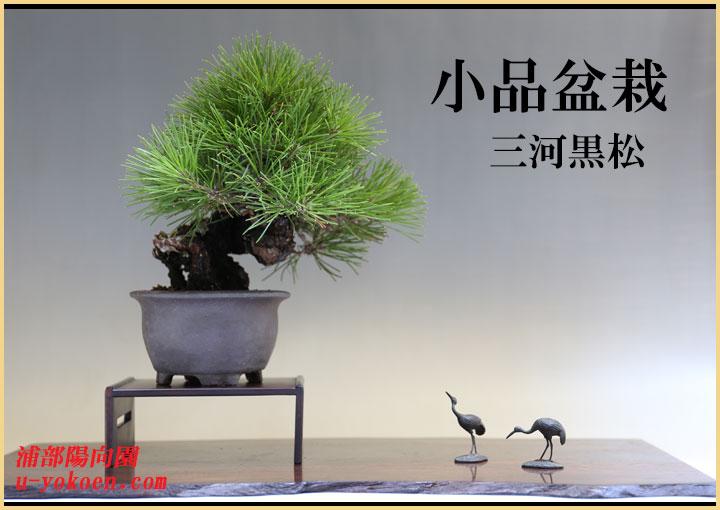 三河黒松-1バナー