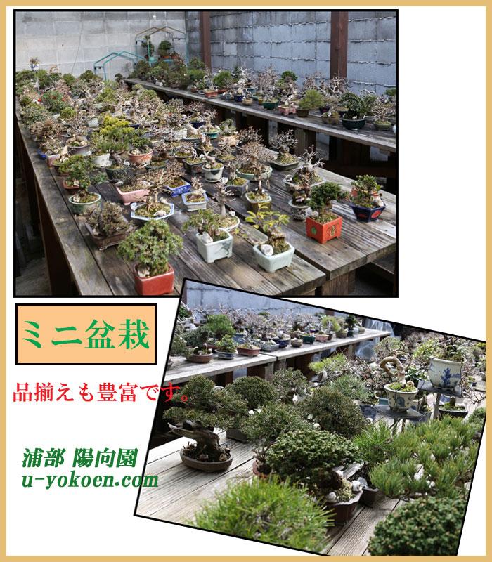 ミニ盆栽陳列画像