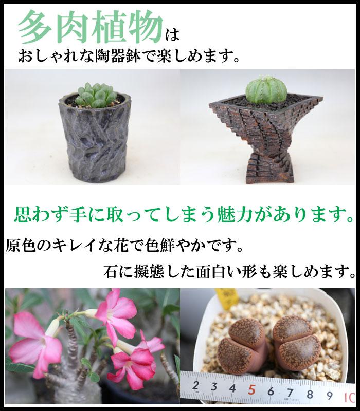 多肉植物の魅力画像