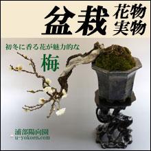盆栽花物実物