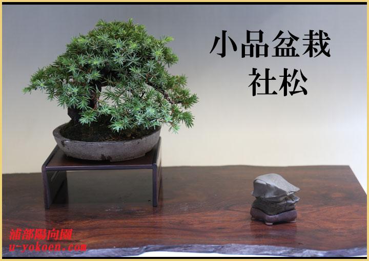 社松-1バナー